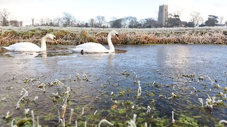 A pair of swans breaking through the icy water close to Reedham Church on a cold and frosty morning