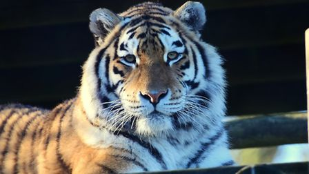 12 days of Christmas at Banham Zoo for the annual animal count.Day 3, a Siberian tiger lounging. PHO