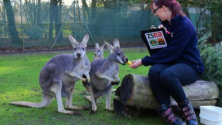 12 days of Christmas at Banham Zoo for the annual animal count. Animal records keeper Jade Ralph tak