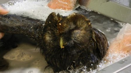 Tawny owl being bathed