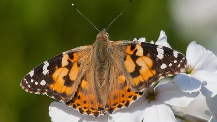 Painted lady butterfly taken at Strumpshaw in May 2016. Picture: RAPTURE PHOTOGRAPHICS