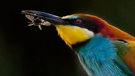 A bee-eater photographed in Winterton. Picture: RAPTURE PHOTOGRAPHICS