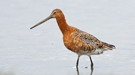 A black-tailed godwit pictured in Norfolk in 2016, Picture: RAPTURE PHOTOGRAPHICS