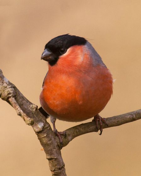 A bullfinch pictured on Sculthorpe Moor Nature Reserve. Picture: RAPTURE PHOTOGRAPHICS