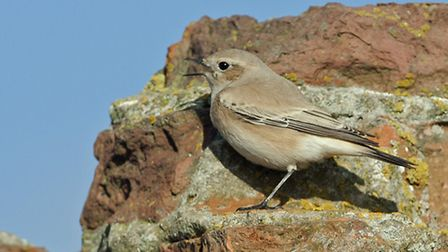 A desert wheatear pictured at Burnham Overy. Picture: RAPTURE PHOTOGRAPHICS