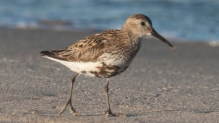 A dunlin spotted at Sea Palling. Picture: RAPTURE PHOTOGRAPHICS