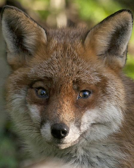 A fox spotted on the outskirts of Norwich. Picture: RAPTURE PHOTOGRAPHICS