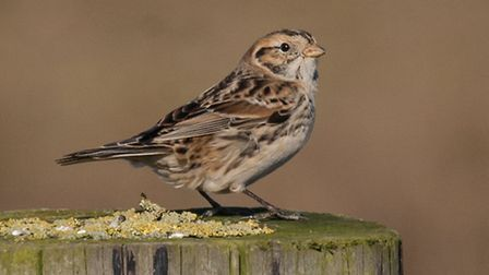 A lapland bunting at Blakeney fresh marsh. Picture: RAPTURE PHOTOGRAPHICS
