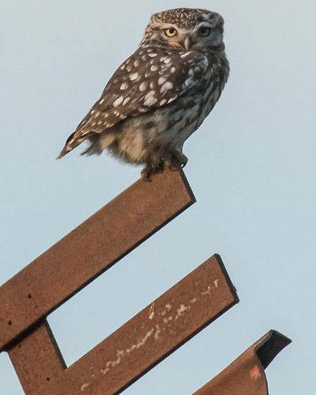 A little owl in Loddon. Picture: RAPTURE PHOTOGRAPHICS