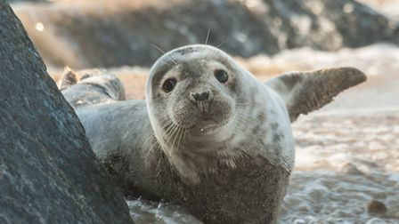 A young grey seal pup at Blakeney. Picture: RAPTURE PHOTOGRAPHICS