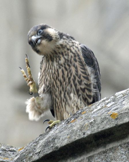A peregrine falcon on Norwich Cathedral. Picture: RAPTURE PHOTOGRAPHICS