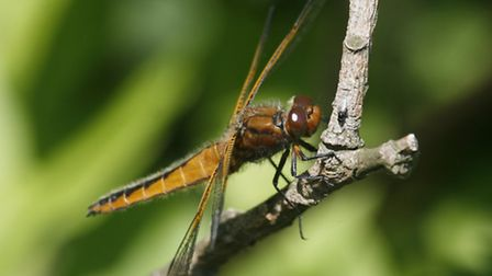 A scarce chaser photographed on Strumpshaw Fen. Picture: RAPTURE PHOTOGRAPHICS