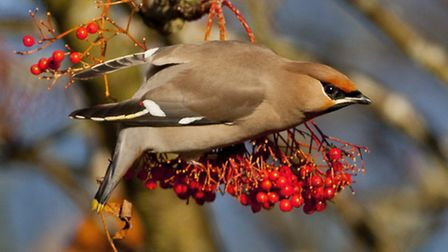 A waxwing bird spotted in Norfolk this year. Picture: RAPTURE PHOTOGRAPHICS
