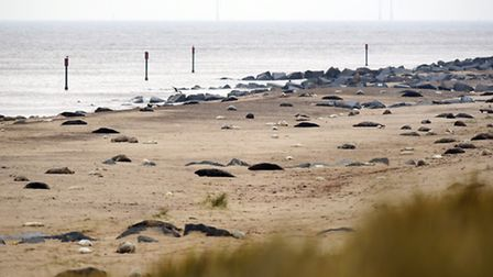 The Grey seal colony spread across at large part of the beach at Horsey.December 2015.Picture: James