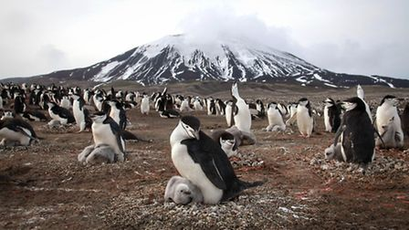 Chinstrap penguins and their chicks. Photographer: Elizabeth White