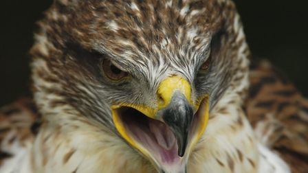 A buzzard was at the centre of a drama in Holt. Picture: James Bass