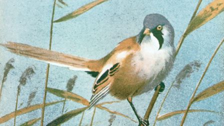 This painting of a bearded tit from 1930 was Jack Harrison's first Christmas card for the trust.