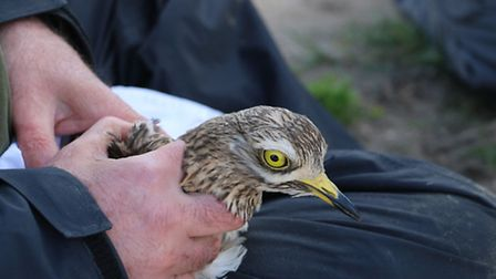 Breaking New Ground - Stone Curlew tagging