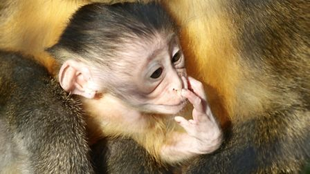 Nugget, the baby golden-bellied mangabey born at Africa Alive! in Kessingland. Pictures: RICHARD JEN