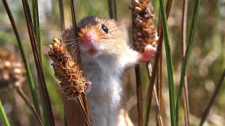 Planet Earth II airing on 04/12/2016 - Episode: Grasslands (No. 5) A female harvest mouse climbs thr