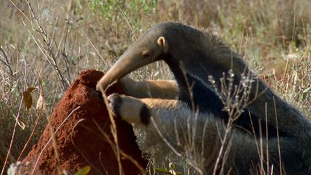 Planet Earth II airing on 04/12/2016 - Episode: Grasslands (No. 5) A giant ant-eater on the cerrado