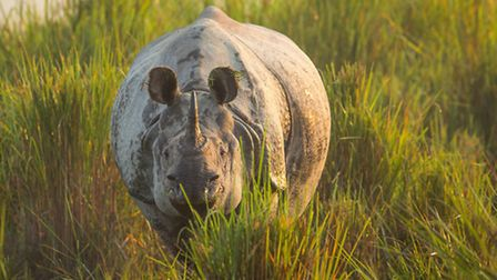 Planet Earth II airing on 04/12/2016 - Episode: Grasslands (No. 5) A one-horned Asian rhino emerges