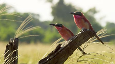 Planet Earth II airing on 04/12/2016 - Episode: Grasslands (No. 5) A pair of carmine bee-eaters migr