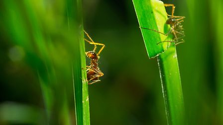 Planet Earth II airing on 04/12/2016 - Episode: Grasslands (No. 5) Grass-cutter ants on the pampas g