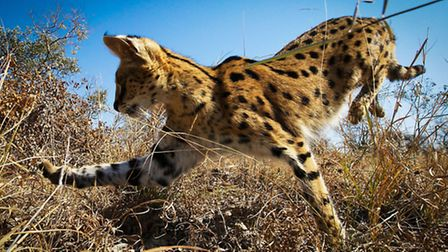 Planet Earth II airing on 04/12/2016 - Episode: Grasslands (No. 5) A serval cat in South Africa leap