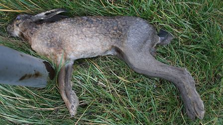 This hare couldn't outrun the sea and was found next to a road sign near Cley visitor centre. Pictur