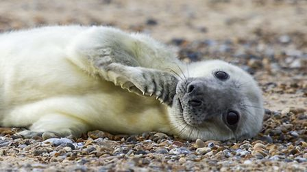One of last year's Blakeney seal pups. Picture JUSTIN MINNS