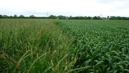 Minimum cultivation versus spring cropping. Pictured: Black-grass in an unchanged field (left) along