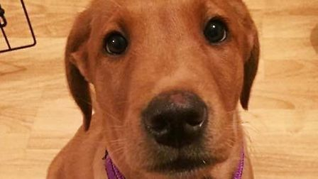 Theodore the 4 month old Labrador puppy had a narrow escape after swallowing a teaspoon. Photo: Brid