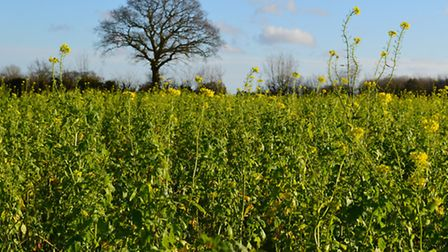Sentry cover crop demonstration at Hill House Farm, Hedenham.