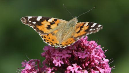 A painted lady. Picture by Trevor Williams / Felbeck Trust