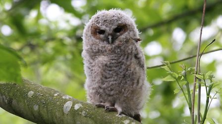 A young tawny owl. Picture by Trevor Williams / Felbeck Trust