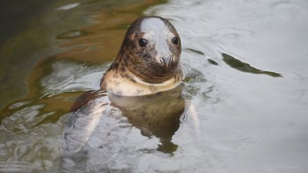 The RSPCA Centre at East Winch have taken in a large number of seal pups since the storm surge last