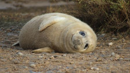 More than 2,000 seal pups have been born at the site as it retains its crown as England's biggest gr