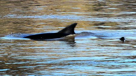 Common dolphins in the River Great Ouse. Picture: Kevin Elfleet