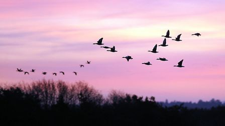 Pink-footed geese fly over Snettisham RSPB reserve.