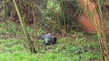 Little seal found in a garden in Blakeney, Norfolk has been helped by the RSPCA. Photo from RSPCA