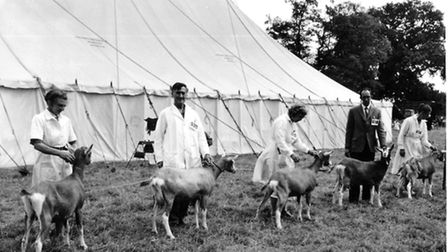 A line-up of goatlings for judging at the Wayland show in 1957. Picture Archant Library.
