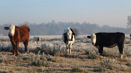 Photograph previously uploaded to iwitness24 of cattle on a cold Bungay Common. Photo by Jackie Moor