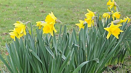 Are these Norfolk's first daffodils of 2017? The blooms have opened up by green at South Wootton, Ki