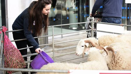 Whiteface Woodland Sheep were at The Forum in Norwich, as part of Makers Month. Pictured is Esme Har