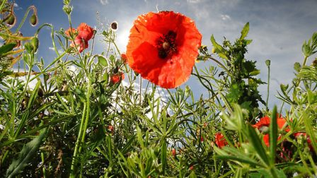 Wild poppies in a hedgerow in north Norfolk. PHOTO: ANTONY KELLY