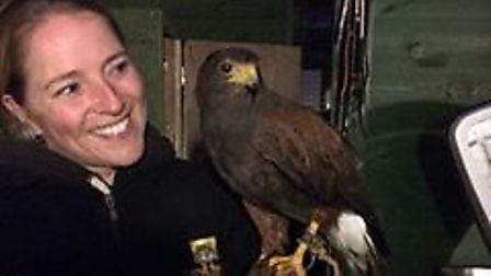 Chink the Harris hawk is back home after going missing during Storm Doris. Picture; Jo Daffin