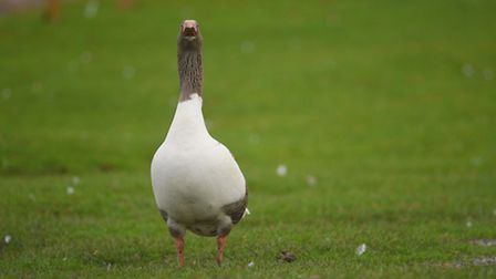 White geese at the duck pond in South Wootton. Picture: Ian Burt