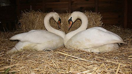 A swan, rescued by Hillside Animal Sanctuary, reunited with her mate. Photo: Hillside Animal Sanctua