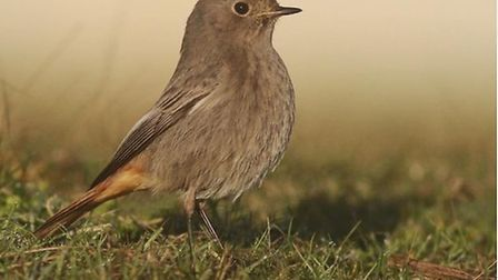 Black redstart by @timoakes